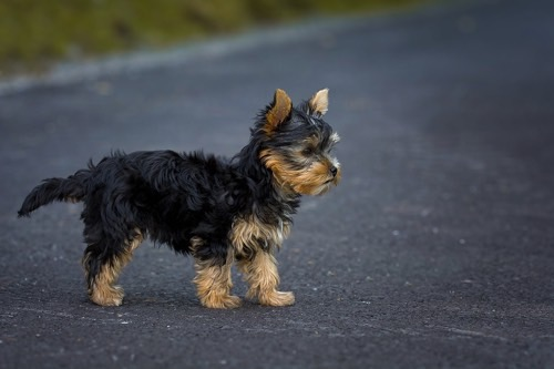 Comment prendre soin de son Yorkshire terrier